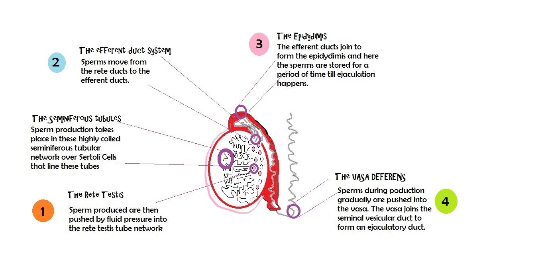 Sperm transport | Azoospermia