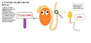 Testes | Sperm | Testosterone