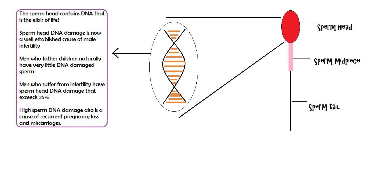 Sperm DNA fragmentation | male infertility