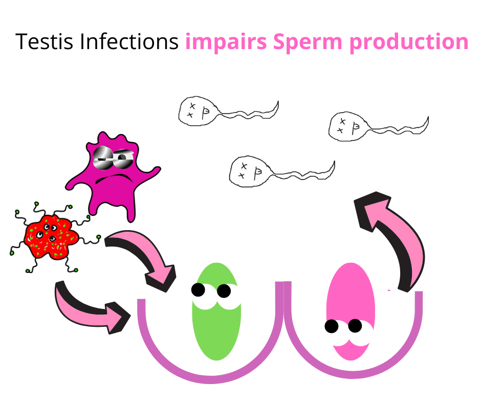 testicular infections lead to low sperm count